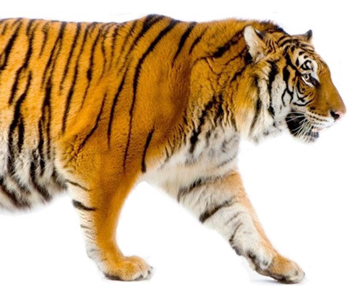 Tiger LHS